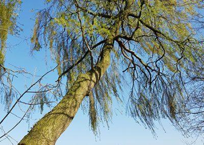 Karakteristieke boom in onze tuin